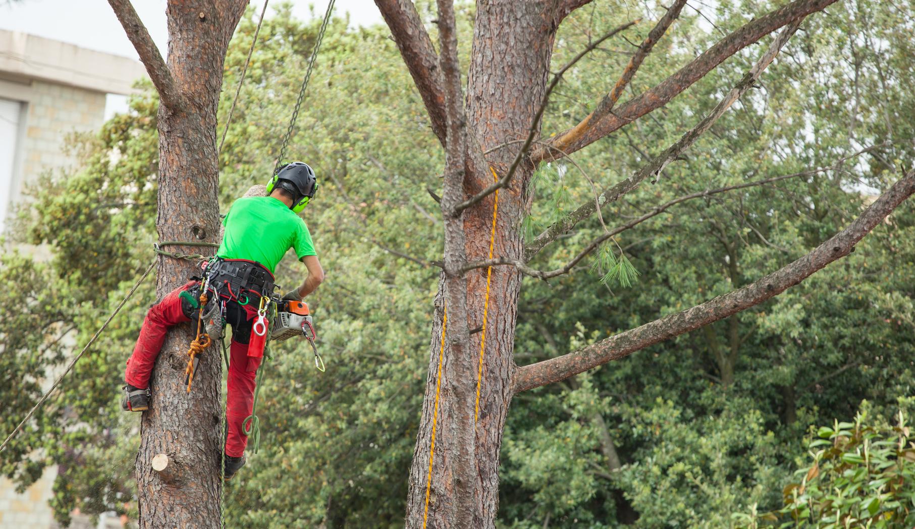Baumfällung mit der Seilklettertechnik